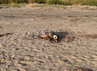 """Sabato mattina il """"funerale"""" della tartaruga marina, trovata morta sulla spiaggia di Pian di Spille e ancora non rimossa"""